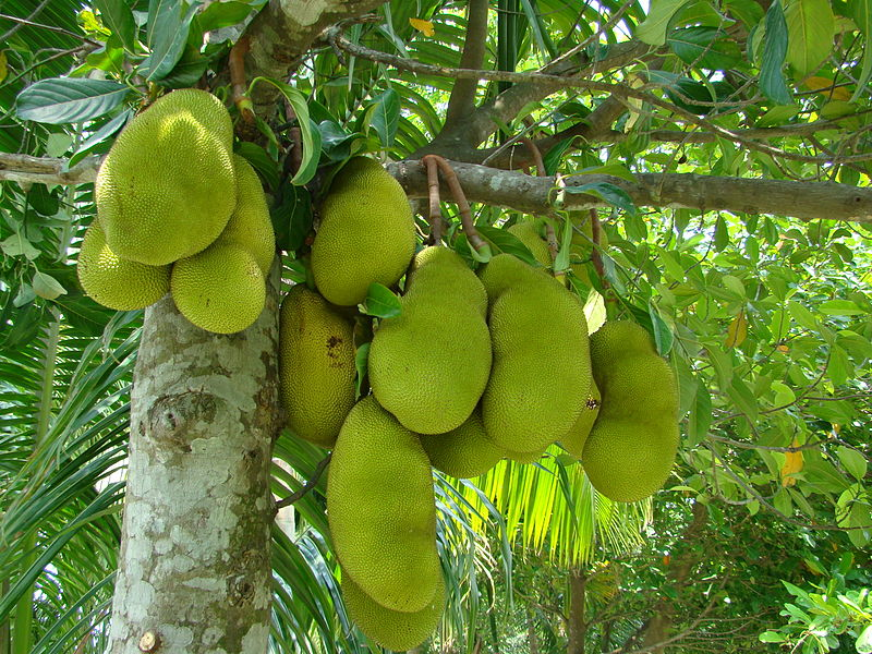 Jackfruit tree - photo from Wikipedia
